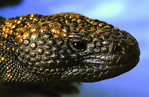 08 E-M Bronze Gila-Monster Portrait.jpg
