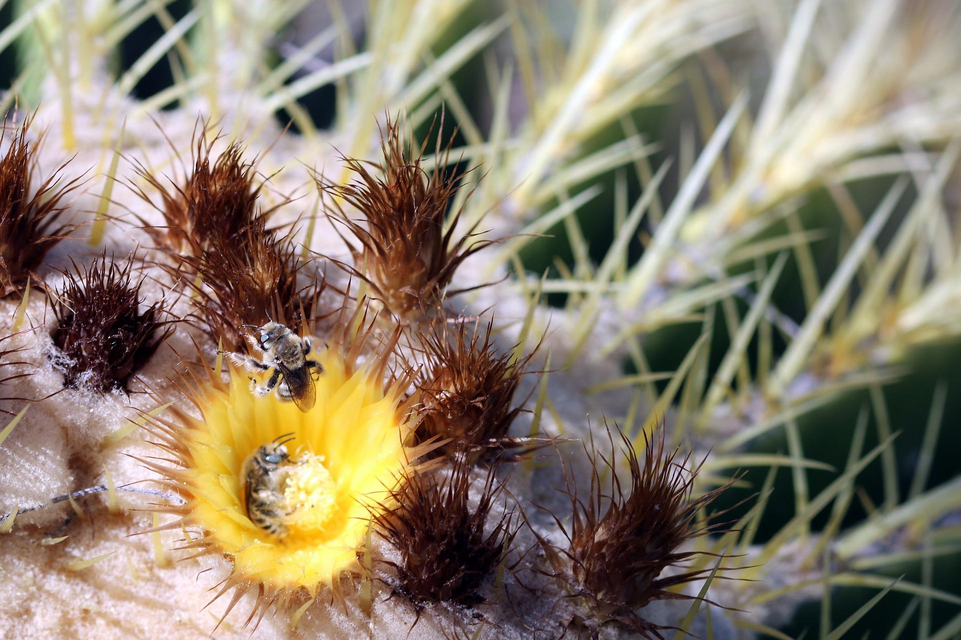 Bienen tummeln sich in einer Blüte des Goldkugelkaktus - Echinocactus grusonii