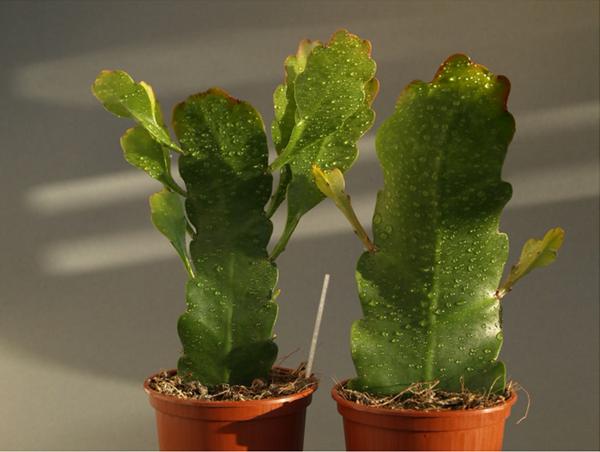 Stecklinge Epiphyllum