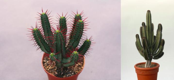 Euphorbia enopla canariensis