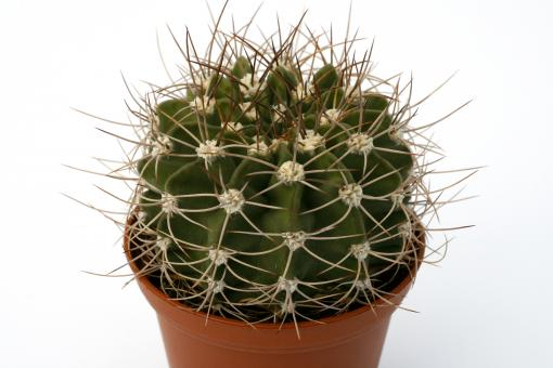 Acanthocalycium violaceum P110 Cuesta Cura Brochero, Cordoba, ARG, 1100m