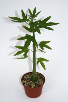 Adenia venenata Y. $ Ethiopia, Somalia, Kenya, Tanzania, Yemen