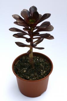 Aeonium arboreum Rotkäppchen