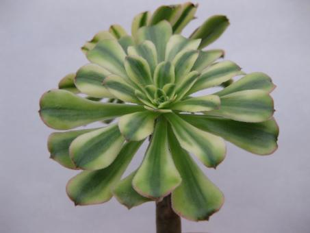 Aeonium arboreum f. variegata