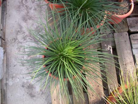 Agave geminiflora El Ocotillo, Nayarit, MEX
