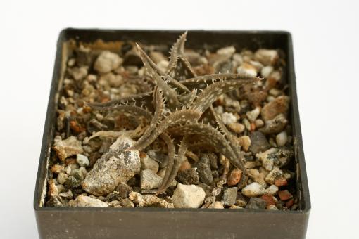 Aloe descoingsii § $ Madagascar
