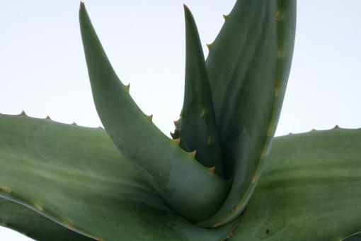 Aloe tomentosa