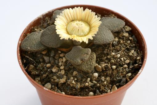 Aloinopsis rosulata Y. *3^