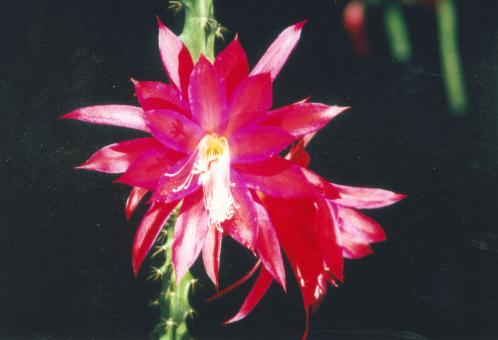 Aporocactus Angela Paetz