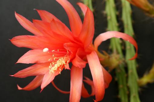 Aporocactus Carolina