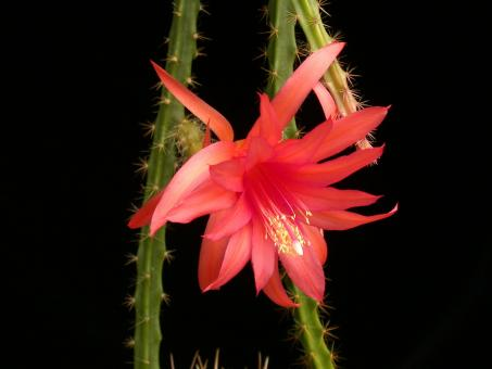 Aporocactus Englische Hybride No. 31