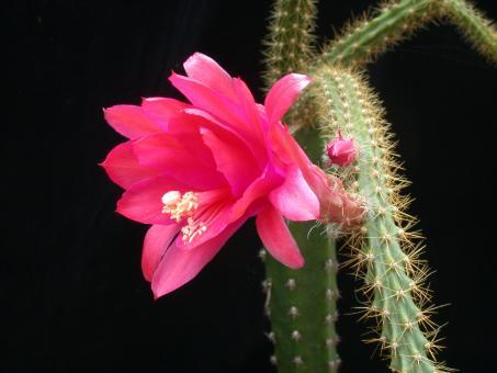 Aporocactus Hazel