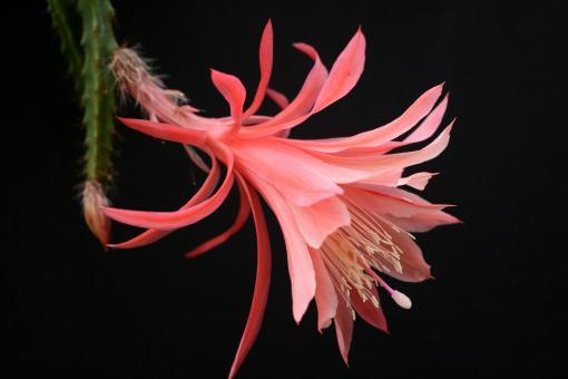 Aporocactus Holygate no. 3