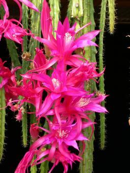 Aporocactus Shin