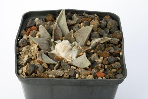 Ariocarpus confusus § % La Escondida, NL, MEX