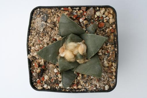 Ariocarpus retusus § %