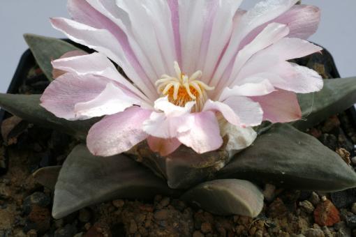 Ariocarpus retusus v. elongatus § %