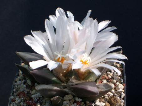 Ariocarpus retusus v. furfuraceus § % El Refugio, Baja California, MEX