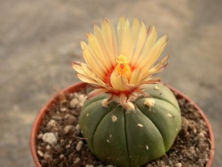 Astrophytum asterias f. nuda § %