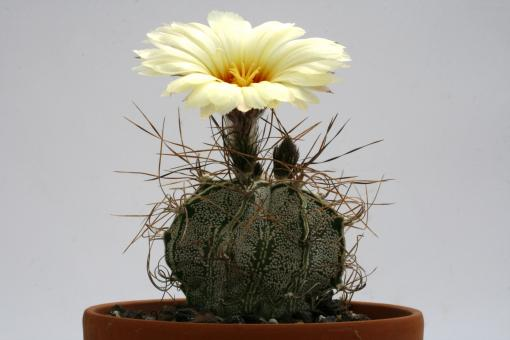 Astrophytum capricorne v. minor % El Chifron, 40km e. of La Rosa, Coah, MEX