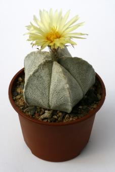 Astrophytum coahuilense Parras, Coah, MEX