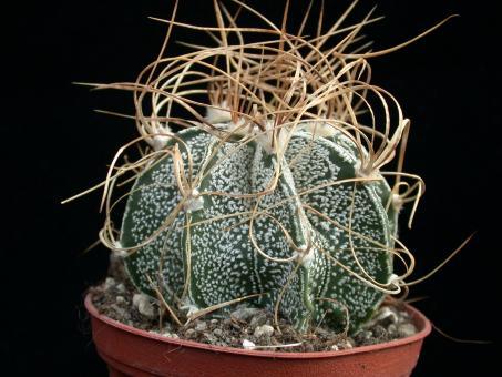 Astrophytum crassispinoides