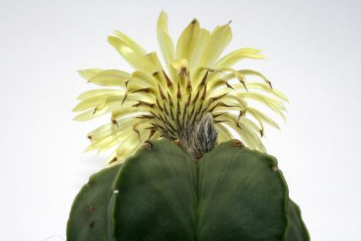 Astrophytum myriostigma f. nuda %