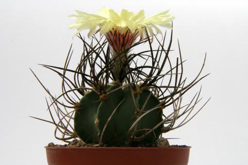 Astrophytum niveum f. nudum