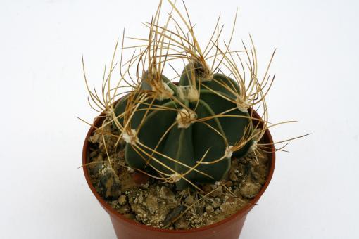 Astrophytum senile f. aureum