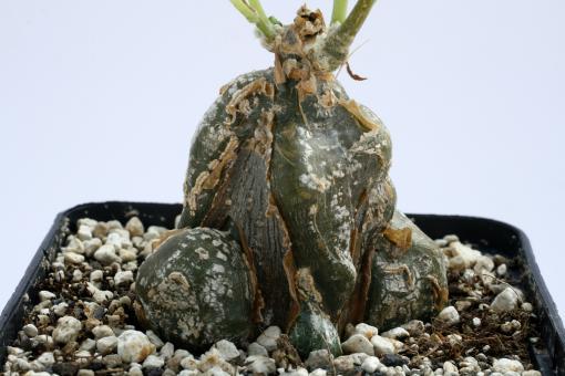 Cephalopentandra ecirrhosa Y. $