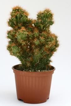 Cereus peruvianus f. monstrosus %