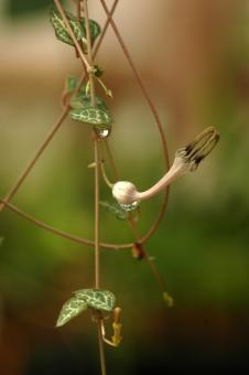 Ceropegia woodii Y.