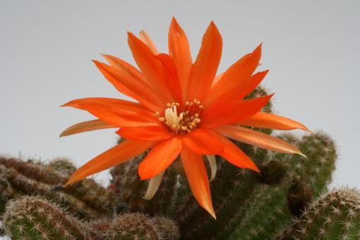 Chamaecereus silvestrii %