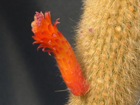 Cleistocactus vulpis-cauda-Hybride