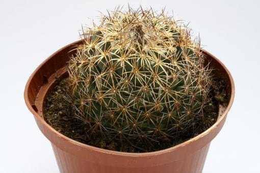 Coryphantha compacta
