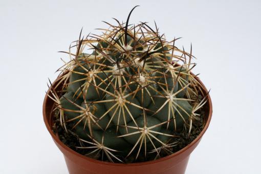 Coryphantha cornifera % MEX120, km 56, Qro, MEX