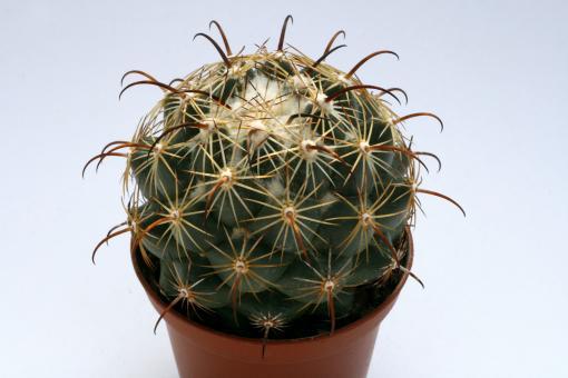 Coryphantha cornifera % MEX120, km 96, Peña Blanca, Qro, MEX