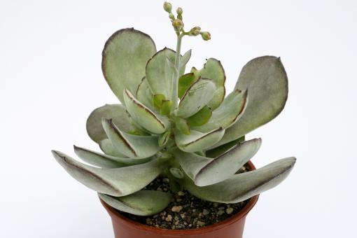Cotyledon orbiculata v. spuria Col., USA