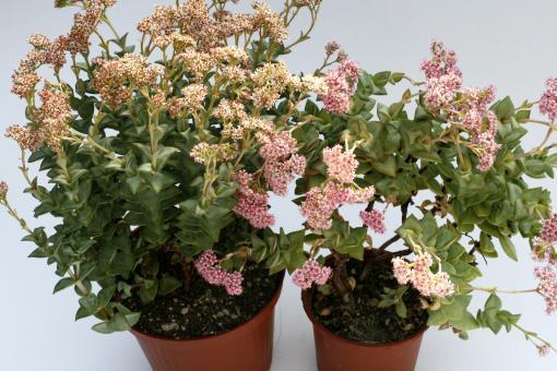 Crassula perforata Hybride rote Blüte