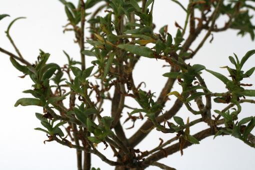 Crassula parvisepala