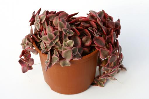 Crassula pellucida f. variegata