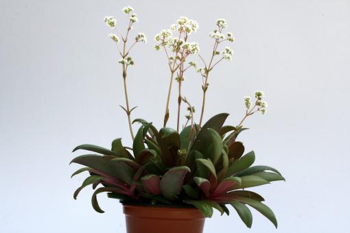 Crassula rosularis