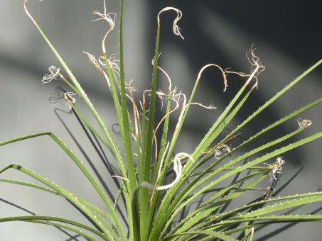 Dasylirion lucidum Azumdilla, Pue, MEX