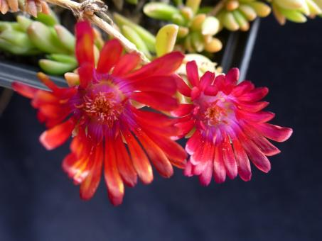 Delosperma Red Fire *1