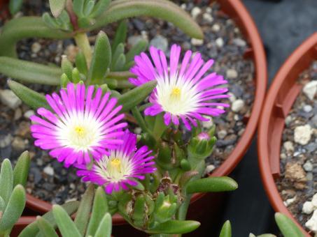 Delosperma Suntropics Hot Pink *1