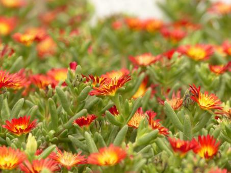 Delosperma Suntropics Red *1