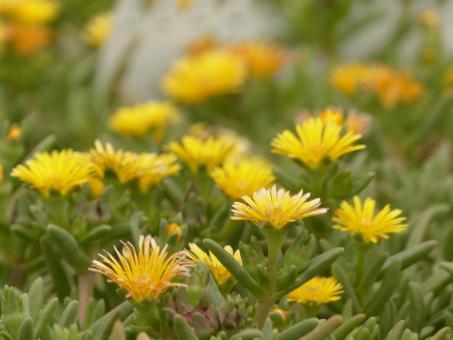 Delosperma Suntropics Yellow *1