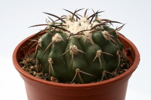 Discocactus crystallophilus § $ HU582 Tomas Gonzaga, Minas Gerais, Brazil