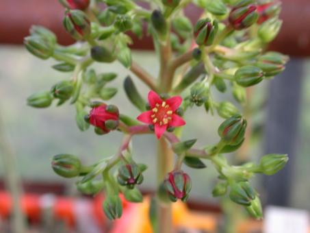Echeveria affinis Schwarzer Prinz