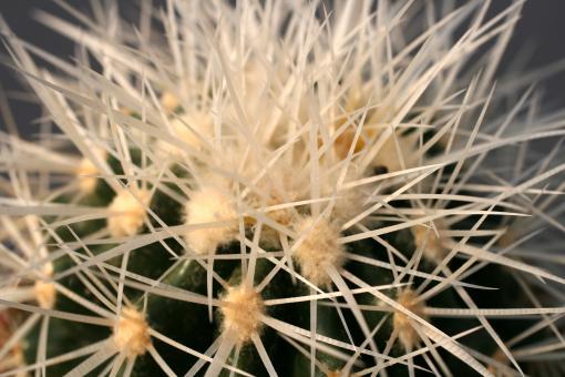 Echinocactus grusonii f. alba %
